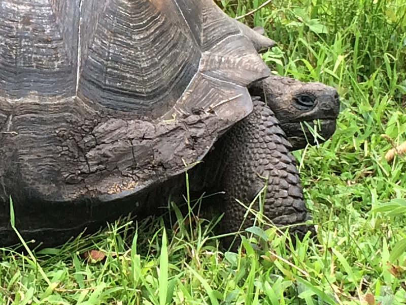Loài rùa khổng lồ Chelonoidis donfaustoi