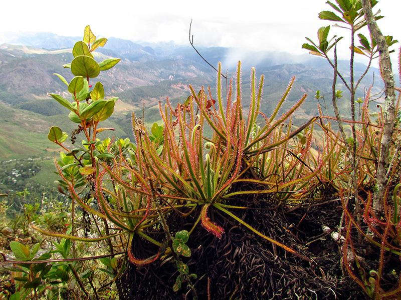 Loài cây ăn thịt mới Drosera magnifica