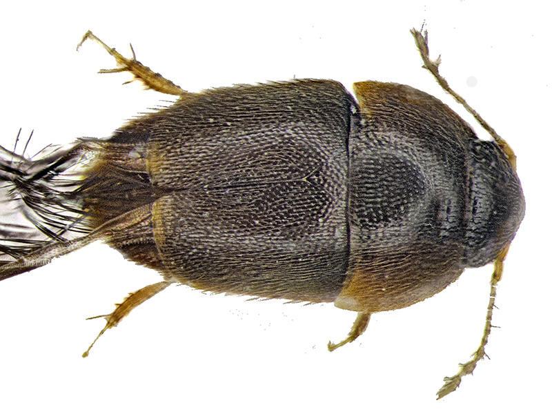 Loài bọ cánh cứng Phytotelmatrichis osopaddington