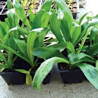 Kỹ thuật trồng cây mùi tàu trị bệnh trong chậu