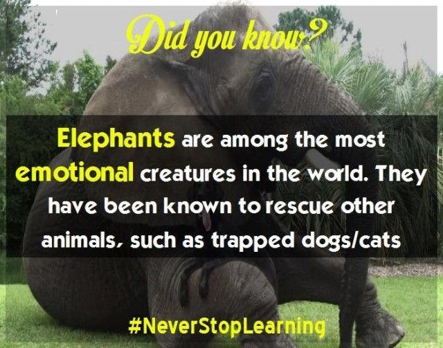 Voi là một trong những sinh vật tình cảm nhất thế giới. Chúng được biết đến với việc giải cứu những động vật khác, chẳng hạn như chó hay mèo bị mắc bẫy.