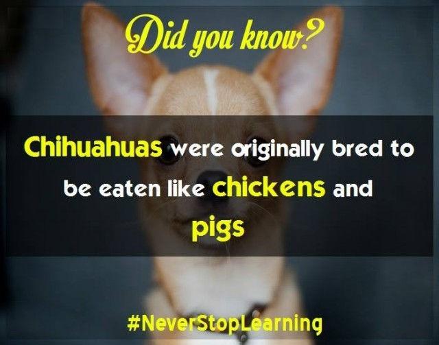 Chó Chihuahua ban đầu được nuôi để ăn thịt như gà và lợn.