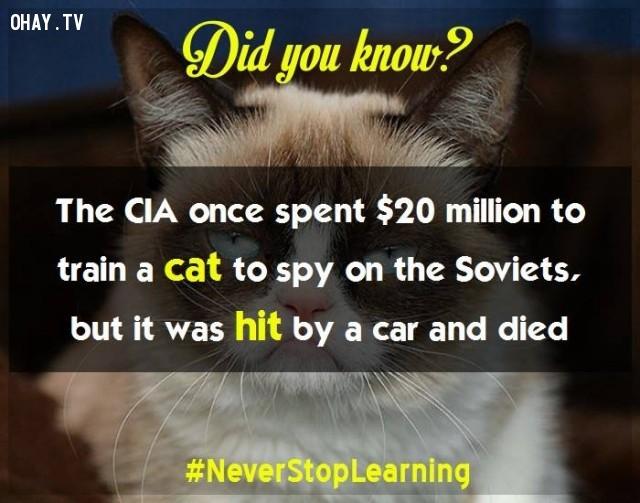 CIA từng chi 20 triệu USD đào tạo một con mèo để do thám Liên Xô, nhưng nó đã bị một chiếc xe hơi tông và qua đời.