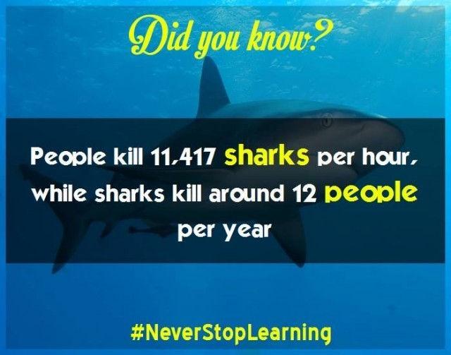 Con người giết khoảng 11.417 con cá mập mỗi giờ trong khi cá mập chỉ giết khoảng 12 người mỗi năm.
