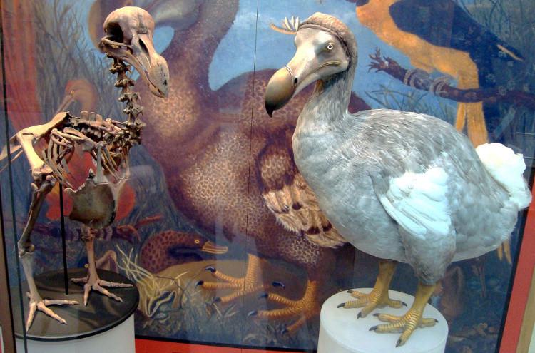 Hình ảnh chim dodo tại Viện Bảo tàng Lịch sử tự nhiên thuộc Đại học Oxford (Anh).