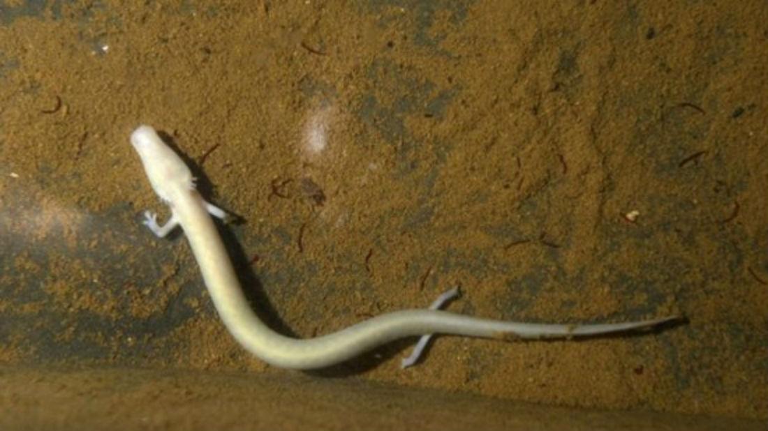 Hai ấu trùng manh giông mới ra đời sẽ sớm có thêm anh chị em, do nhiều quả trứng khác có thể nở bất cứ lúc nào.