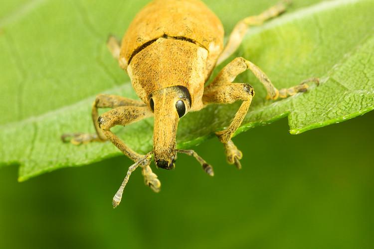 Một con bọ vòi voi đang ăn lá.