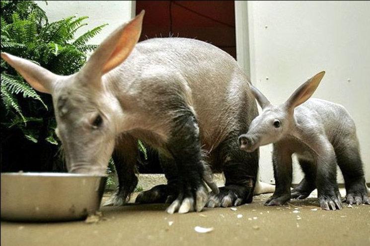 Nhờ có màng chân nên lợn đất bơi rất giỏi.