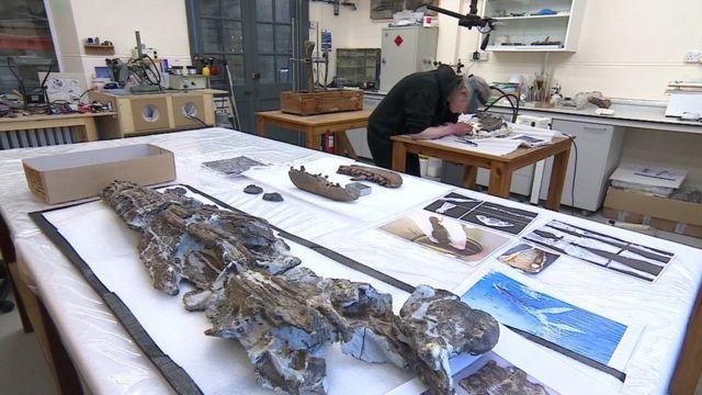 Chuyên viên bảo quản Juliet Hay cẩn thận làm việc với phần hộp sọ của Plesiosaur.