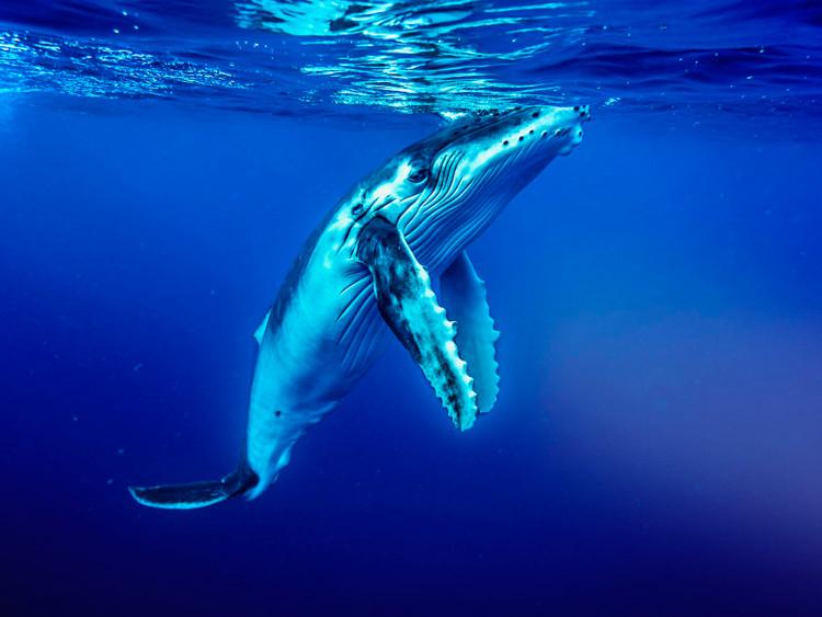 Số lượng cá voi lưng gù đã giảm đi 1/3 so với số lượng của năm 2010.