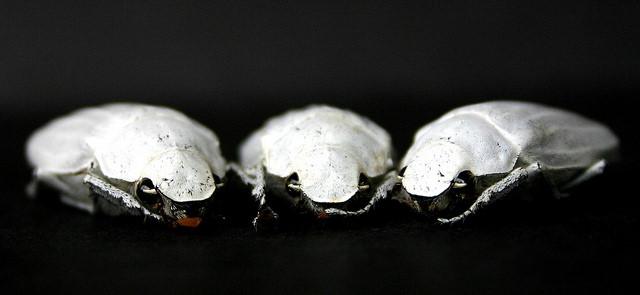 Bọ cánh cứng ma Cyphochilus