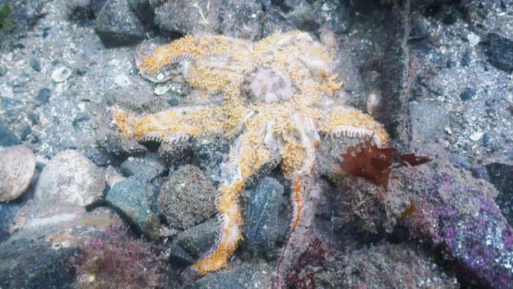 Một con sao biển đang tan chảy, nguyên nhân dường như đến từ 1 loại densovirus.