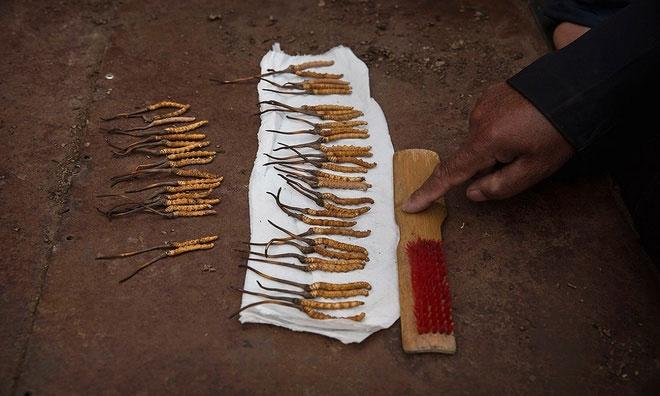 Những gốc đông trùng hạ thảo lớn với chất lượng cao có thể bán với giá khoảng 10 USD/gốc