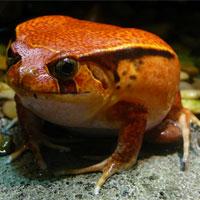 Phát hiện hai loài ếch bỏ qua giai đoạn nòng nọc ở Ecuador