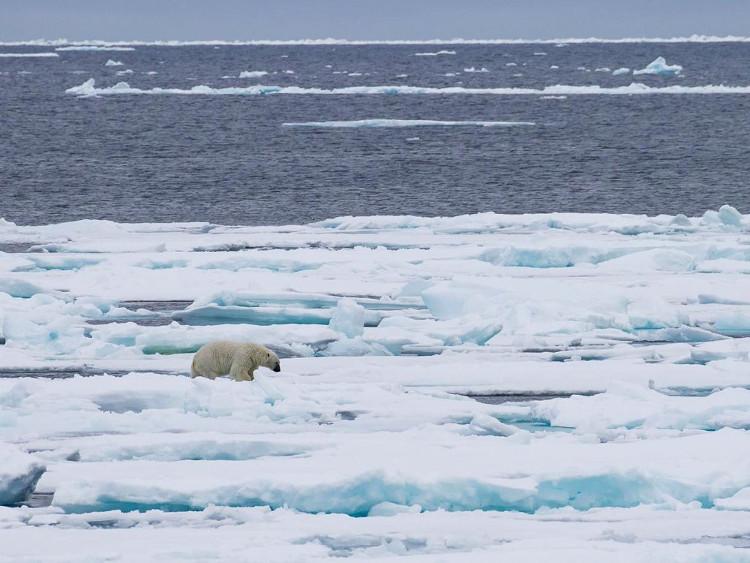 Băng tan sẽ đẩy gấu Bắc Cực vào cảnh tuyệt chủng.