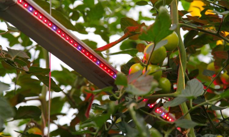 Công nghệ này giúp tăng năng suất cây cà chua ngay trong mùa đông.