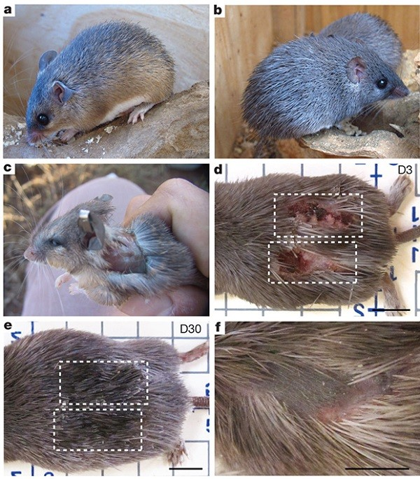 Quá trình tự tái tạo một mảng da của chuột gai châu Phi.