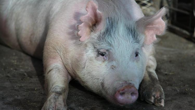 Con lợn nái mang phôi thai người - lợn.