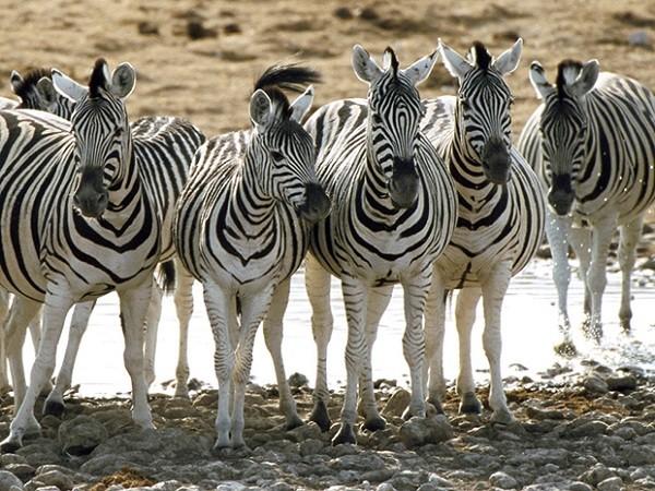 Mỗi một con ngựa vằn có các sọc đặc trưng khác nhau cũng giúp chúng nhận ra nhau.