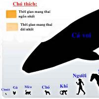Thời gian mang thai của các loài động vật