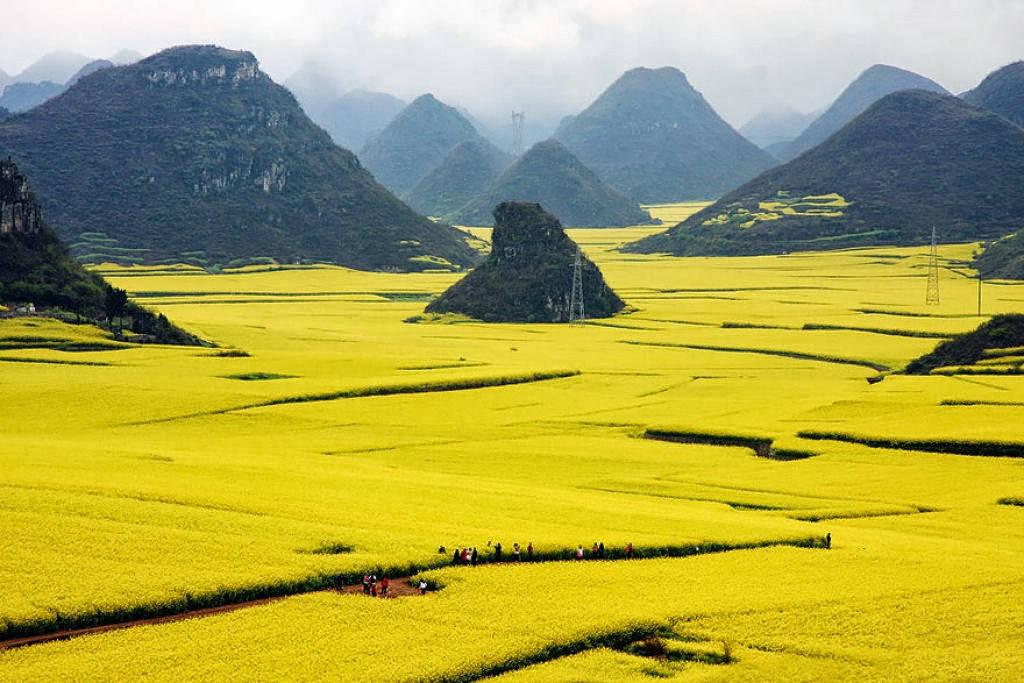 Những cánh đồng hoa cải vàng rực ngút tầm mắt.