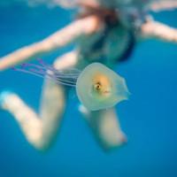 Cá chui vào trong mình sứa để đi nhờ