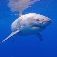 Những sự thật không ngờ về cá mập