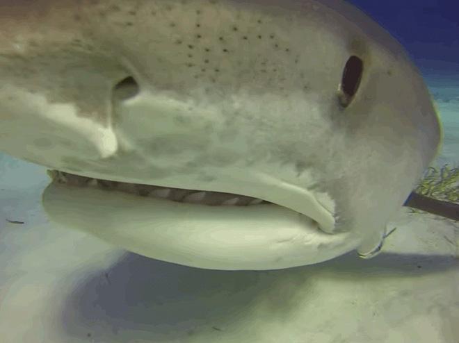 Nhiều loài cá mập bị mù màu