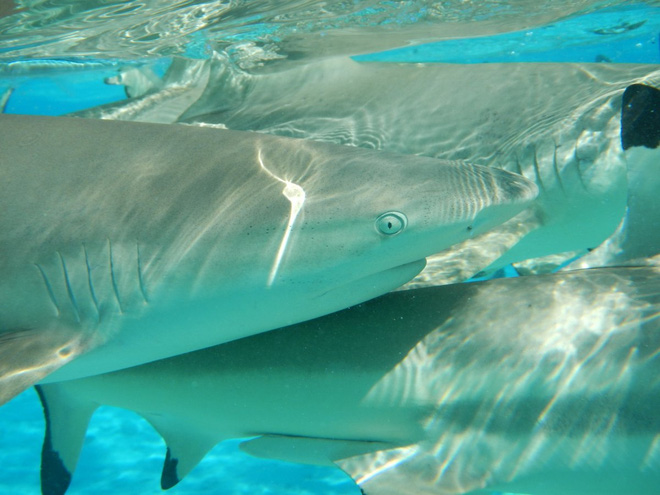 Cá mập có thể bị thôi miên