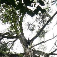 Video: Cây nhiệt đới cao nhất thế giới