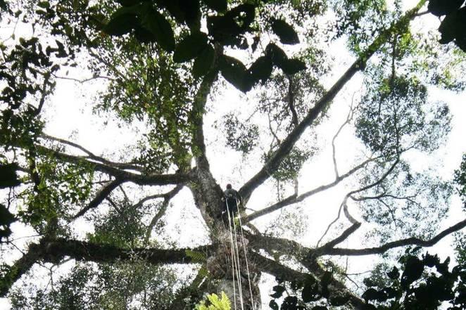 Cây này được tìm thấy trong khu rừng mưa ở Malaysia.