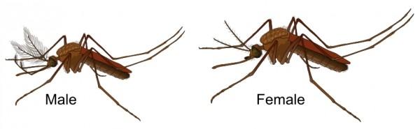 Chỉ có muỗi cái mới hút máu
