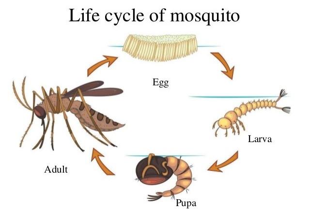 Muỗi chỉ sống được khoảng 2 tháng
