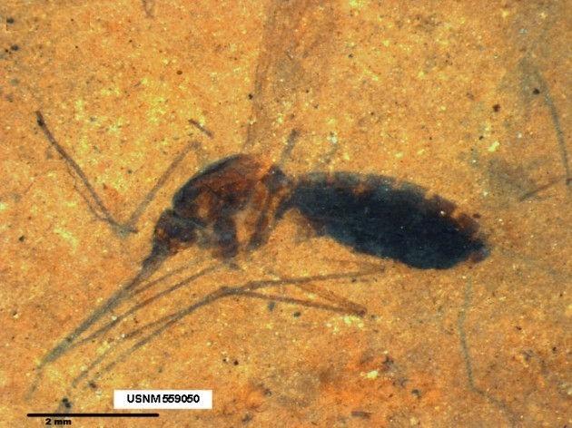Muỗi có mặt trên Trái Đất từ 210 triệu năm trước