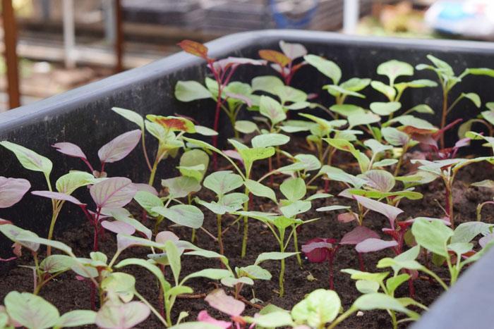 Cây rau dền có kỹ thuật trồng cây khá dễ
