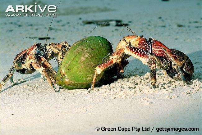 Loài cua Birgus latro khổng lồ có thể nặng tới 4kg, chỉ sống trên cạn và chuyên ăn trái dừa.