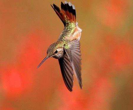 Chim ruồi