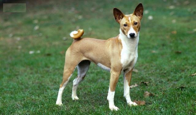 Giống chó Basenji không sủa, chúng chỉ gầm gừ, rên tỉ, ư ử tùy theo tâm trạng.