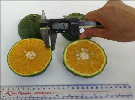 Trái cam sành KH LĐ 6 so với trái cam sành thường.