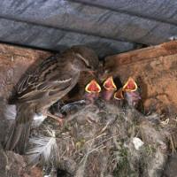 Chim sẻ ăn hạt nhưng nuôi con bằng sâu