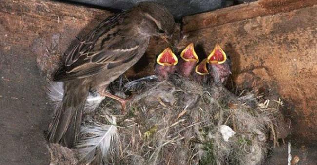 Vì sao chim sẻ ăn hạt nhưng nuôi con bằng sâu?