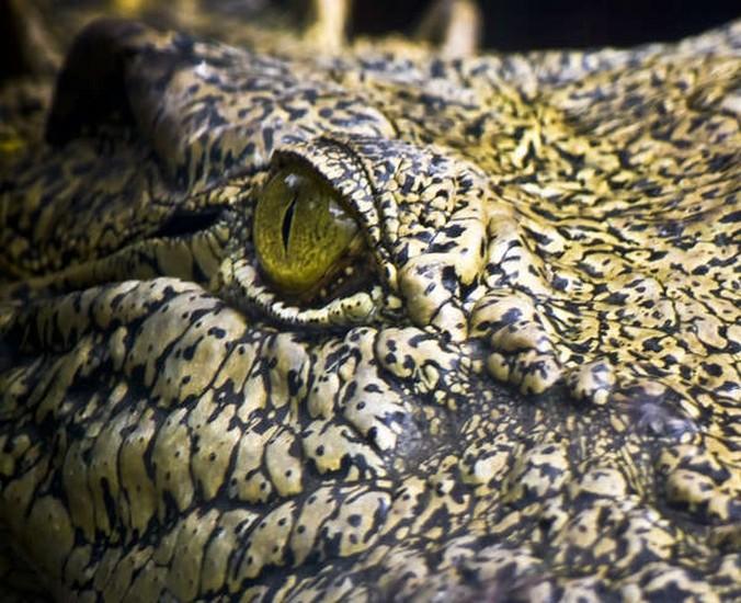 Mắt cá sấu không có tuyến lệ.