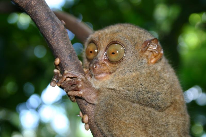 Mắt khỉ Tarsier