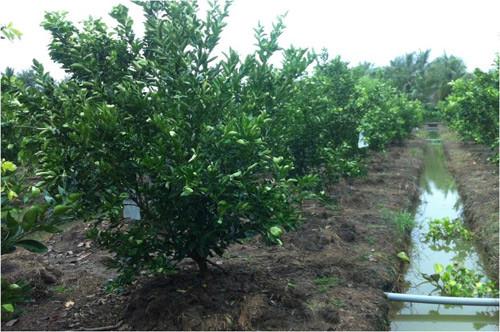 Mô hình trồng giống cam sành KH LĐ 6 tại huyện Chợ Gạo, Tiền Giang.