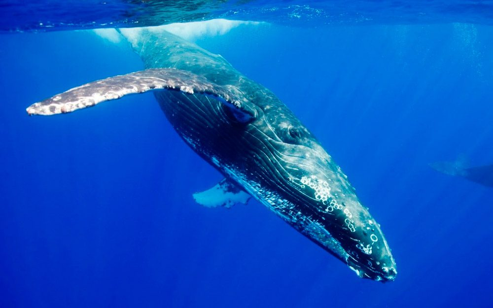 Cá voi xanh, động vật có vú nặng khoảng 200 tấn, có thể bơi khắp các đại dương trên thế giới, bao phủ 71% diện tích bề mặt Trái Đất.