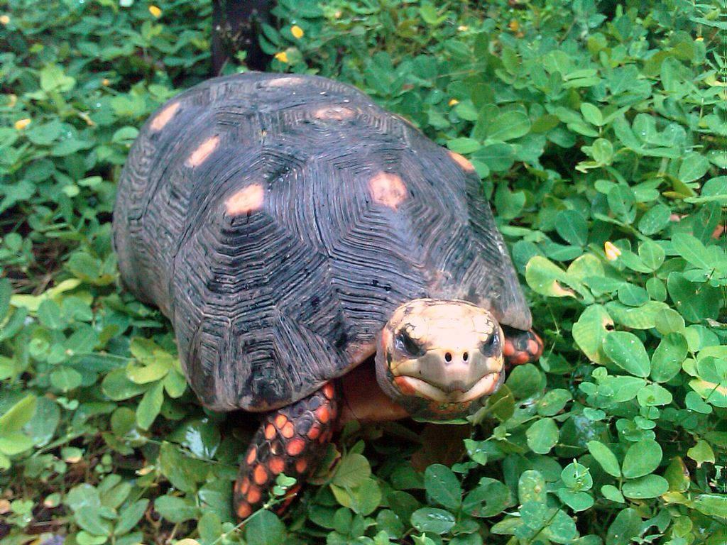 Những con rùa di chuyển từ khu vực châu Phi tới Nam Mỹ nhờ sức chịu đựng đáng kinh ngạc.