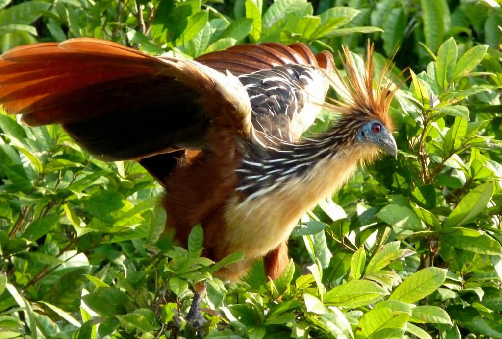Loài gà móng, có khả năng bay kém, di cư đến Nam Mỹ từ châu Phi nhờ bè mảng trôi nổi trên Đại Tây Dương hàng chục triệu năm trước.