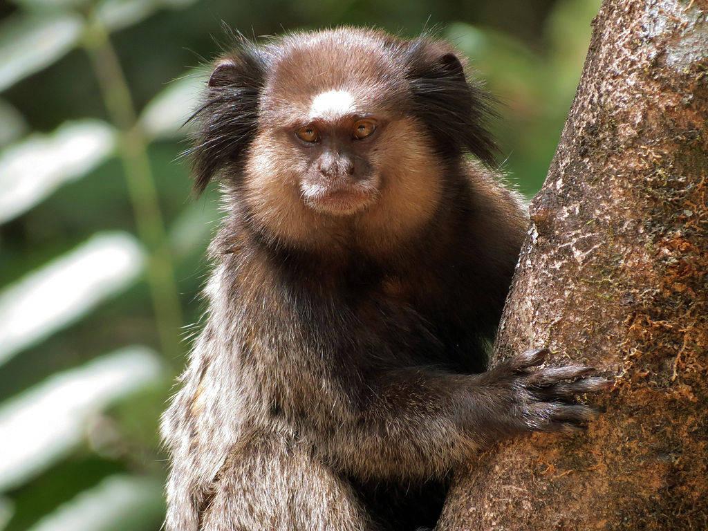 Khỉ đuôi sóc màu đen