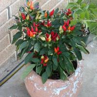 Cách trồng ớt nhiều màu tại nhà vừa ăn vừa làm cảnh