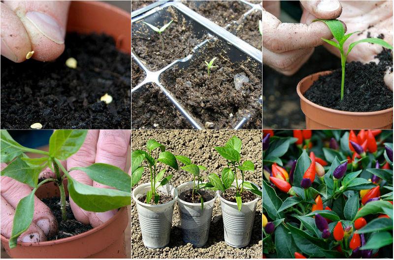 Cách gieo trồng và chăm sóc ớt nhiều màu
